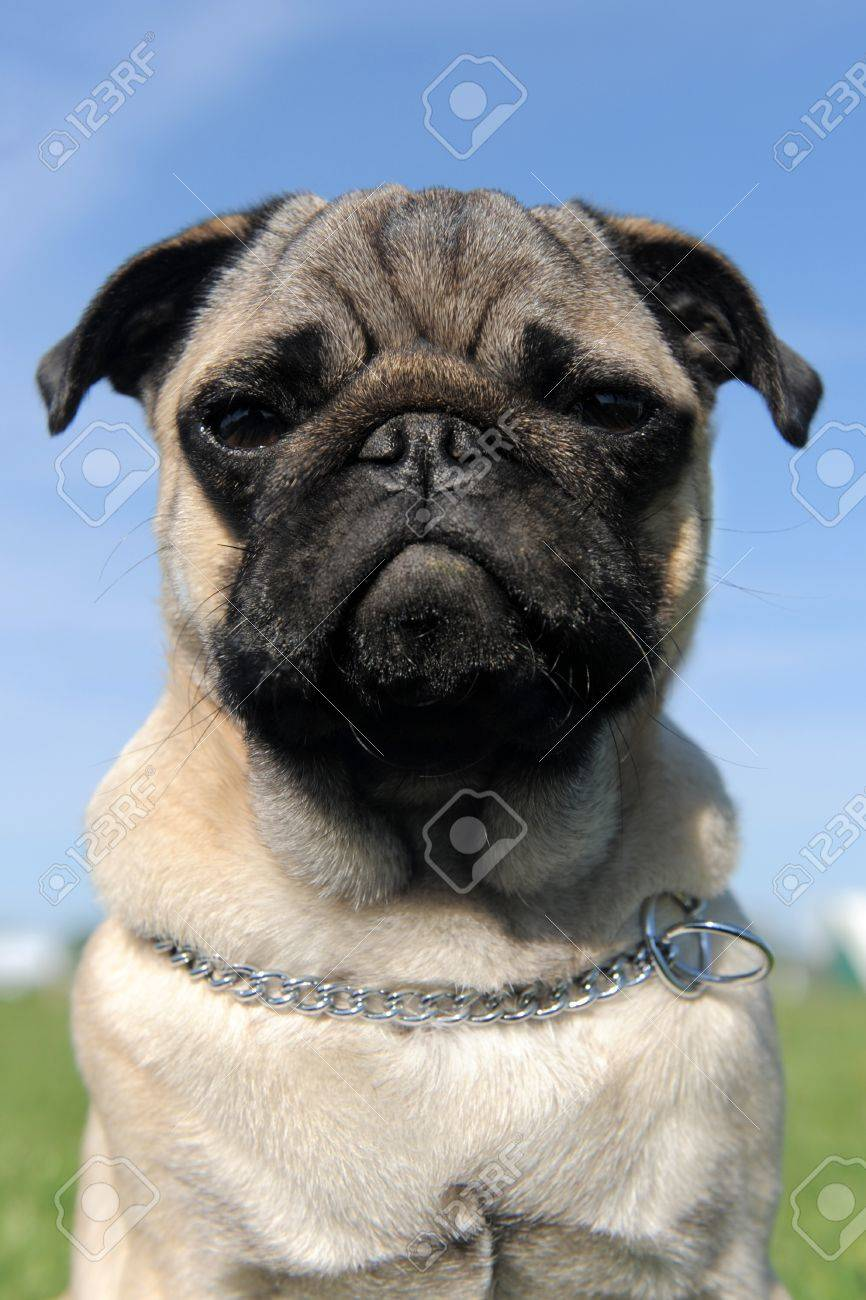 portrait of a purebred puppy pug in a field, focus on the eyes Stock Photo - 12603636