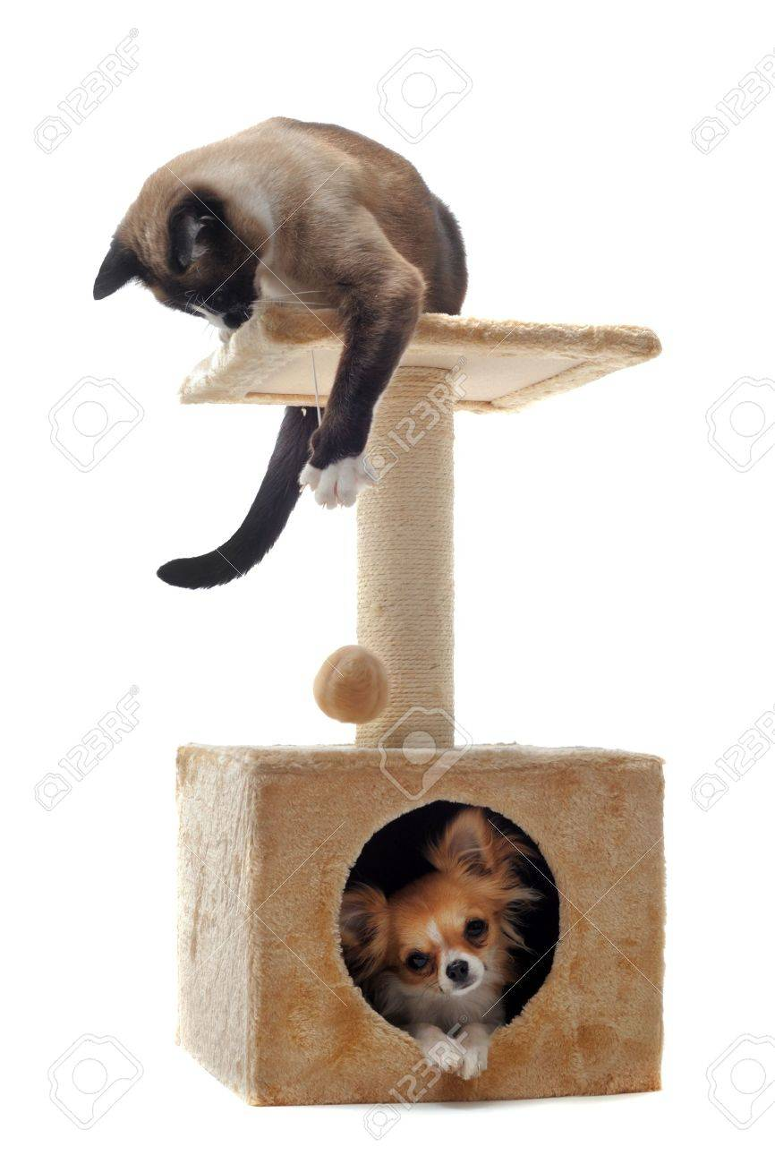 purebred chihuahua and siamese cat on a scratching post Stock Photo - 12603527