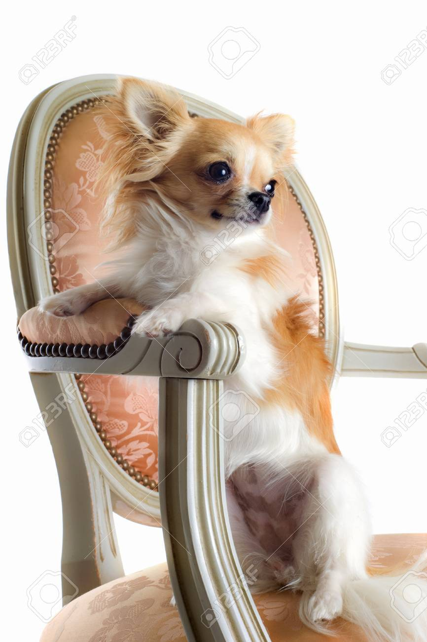 cute chihuahua on an antique chair in front of white background Stock Photo - 13131903