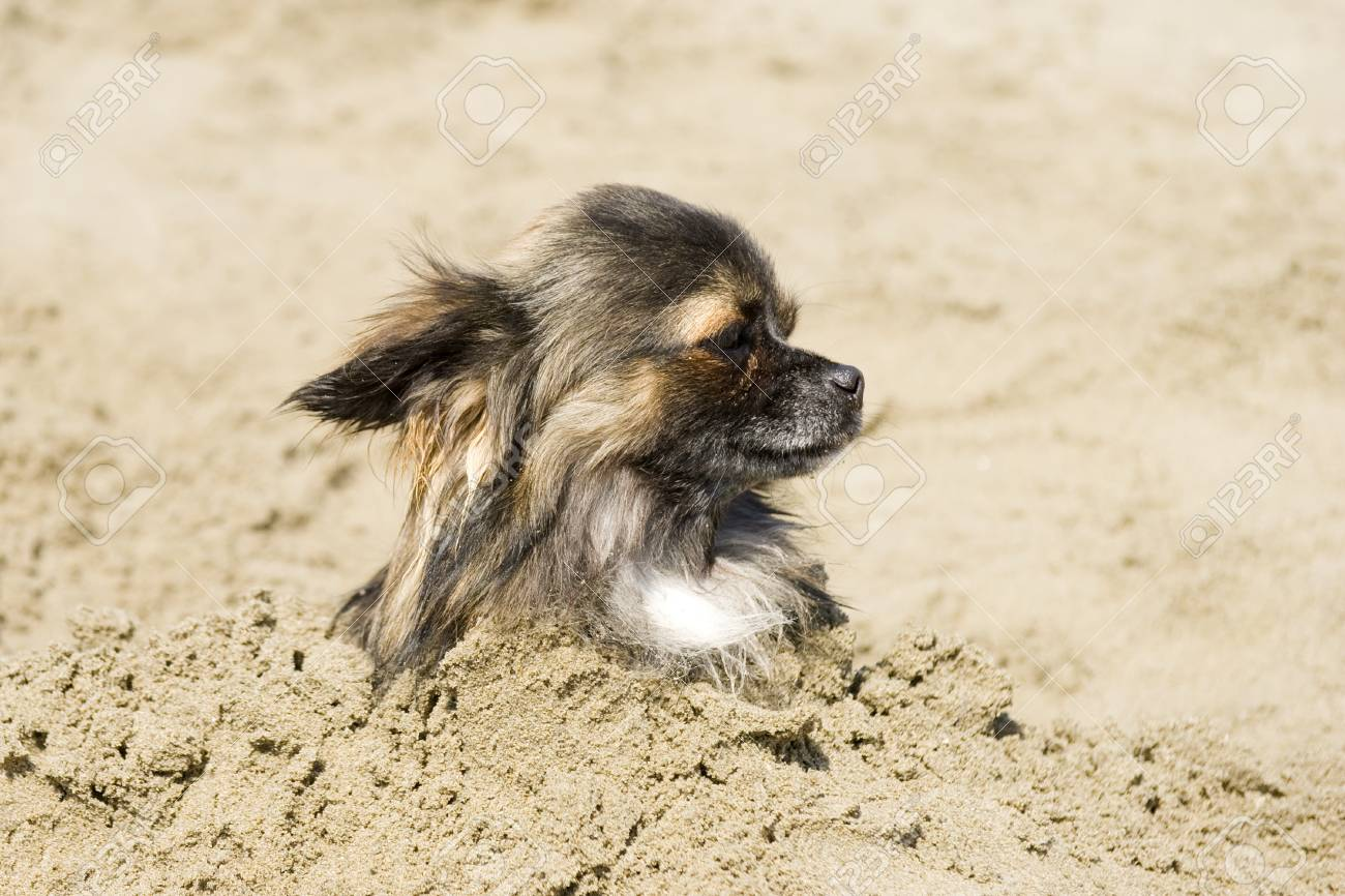 portrait of a cute purebred  chihuahua  in the sand Stock Photo - 14512172