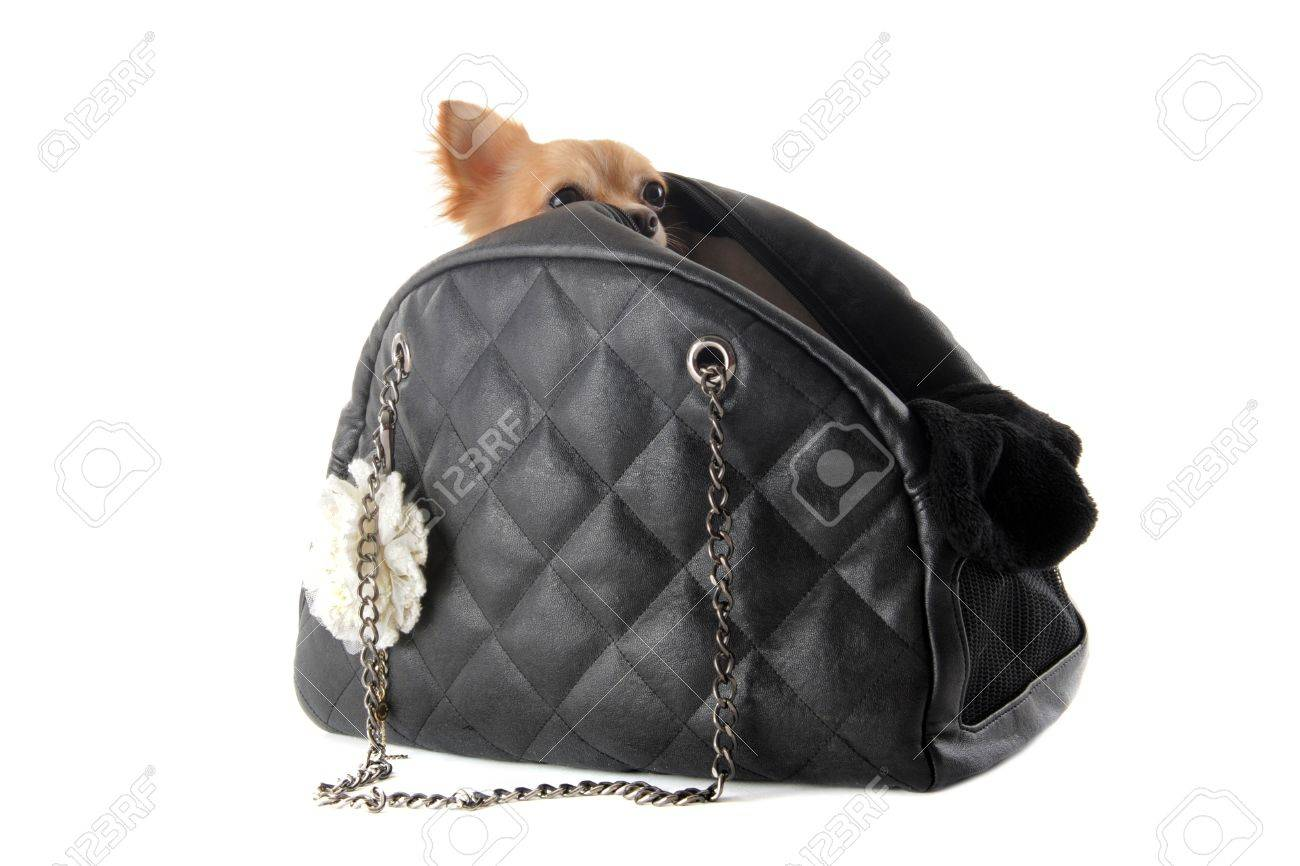 travel bag with chihuahua in front of white background Stock Photo - 14572824