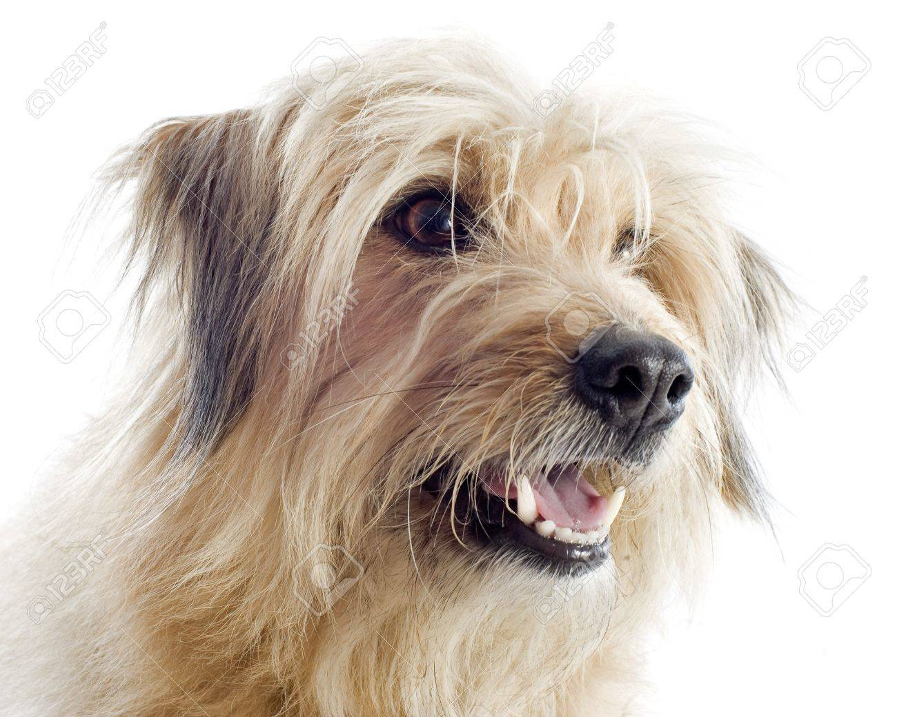 portrait of a pyrenean sheepdog in front of a white background Stock Photo - 15994063