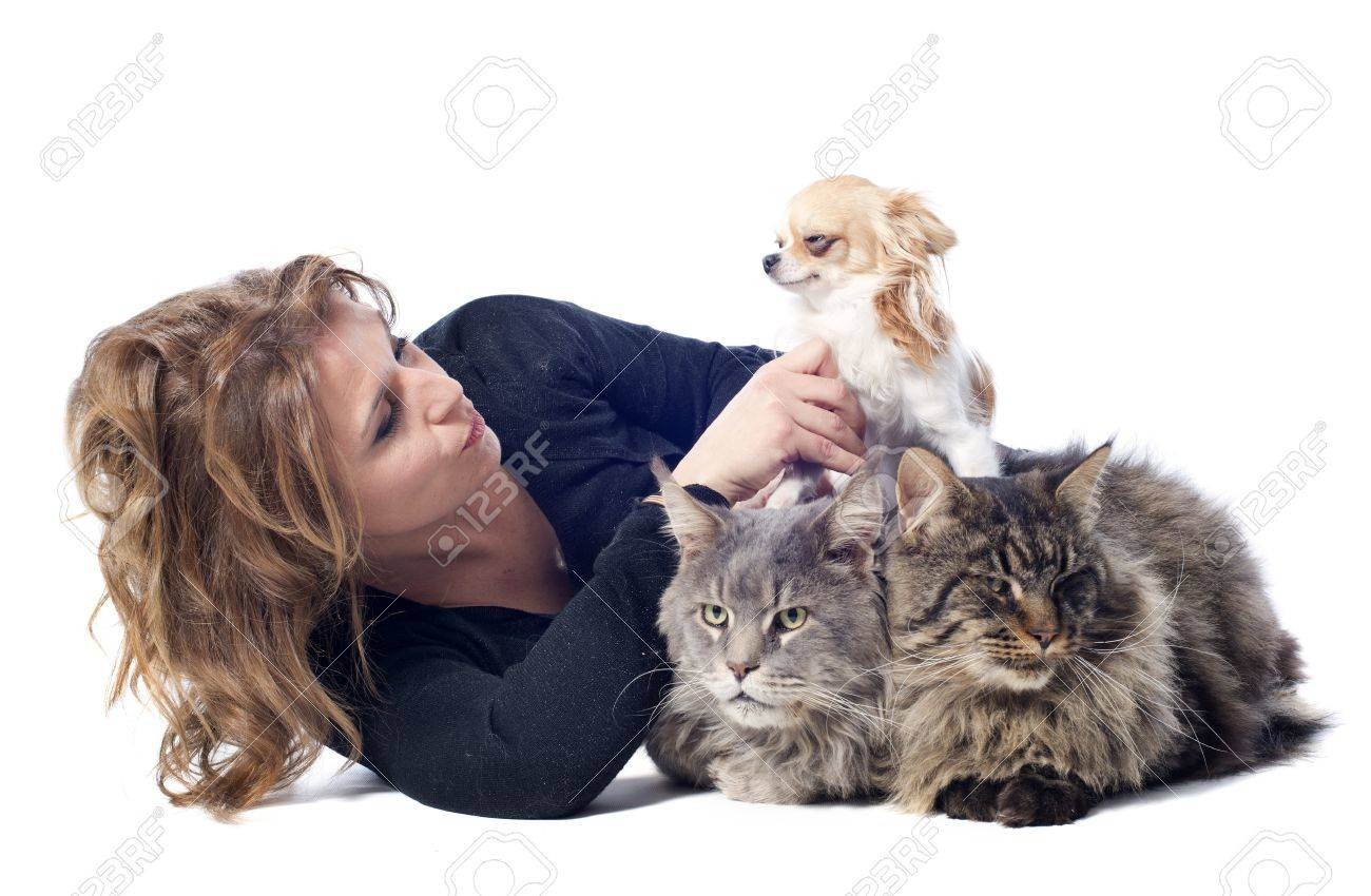 portrait of a purebred  maine coon cats , chihuahua and woman on a white background Stock Photo - 17560541