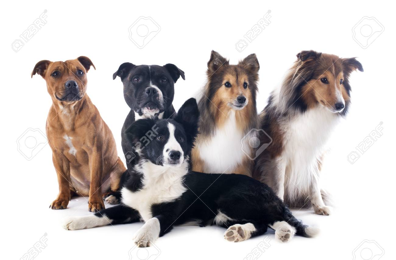 portrait of five purebred dogs in front of white background Stock Photo - 17841199