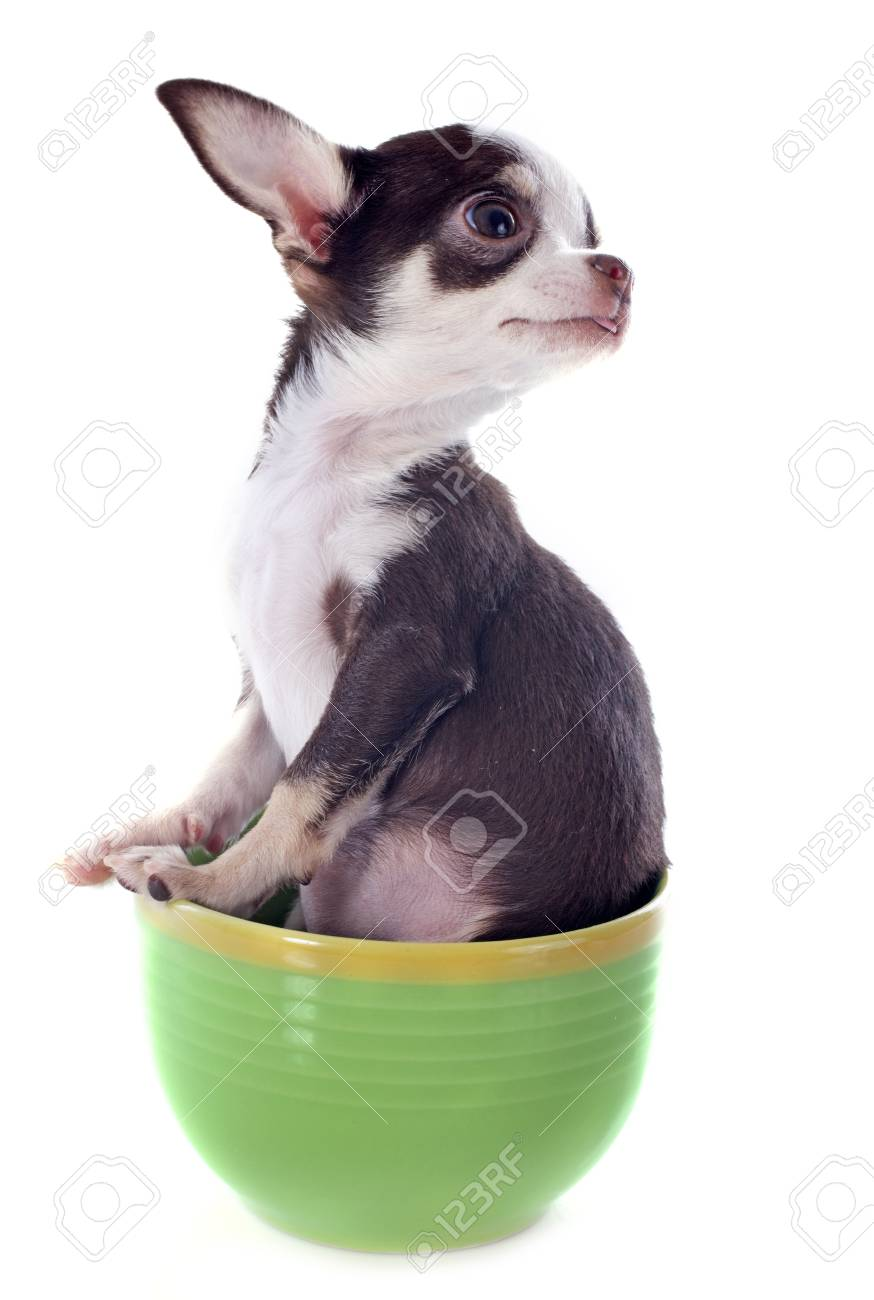 portrait of a cute purebred  puppy chihuahua in a cup Stock Photo - 17841193
