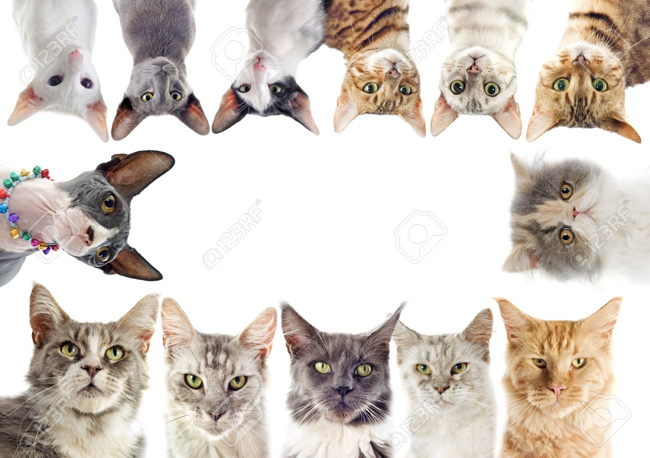 group of purebred cats on a white background Stock Photo - 18257792