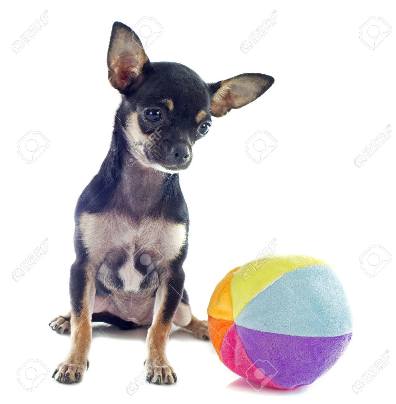 Immagini Stock Ritratto Di Un Simpatico Cucciolo Di Razza