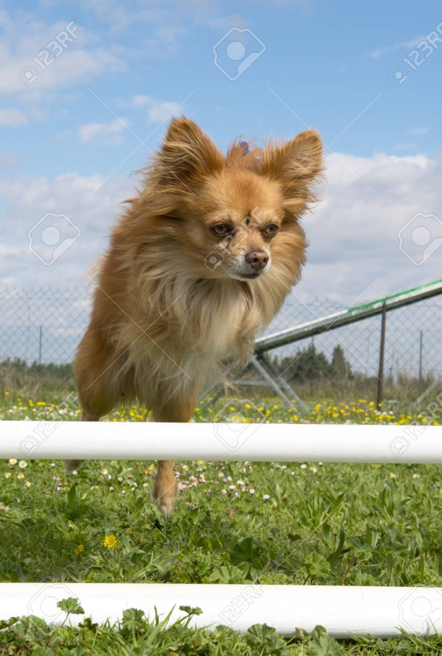 portrait of a cute purebred chihuahua in a training of agility Stock Photo - 19140341