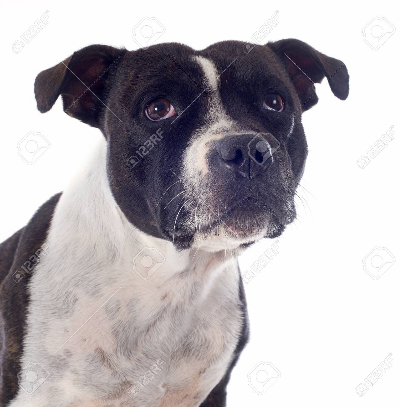 portrait of a staffordshire bull terrier in front of white background Stock Photo - 19140436