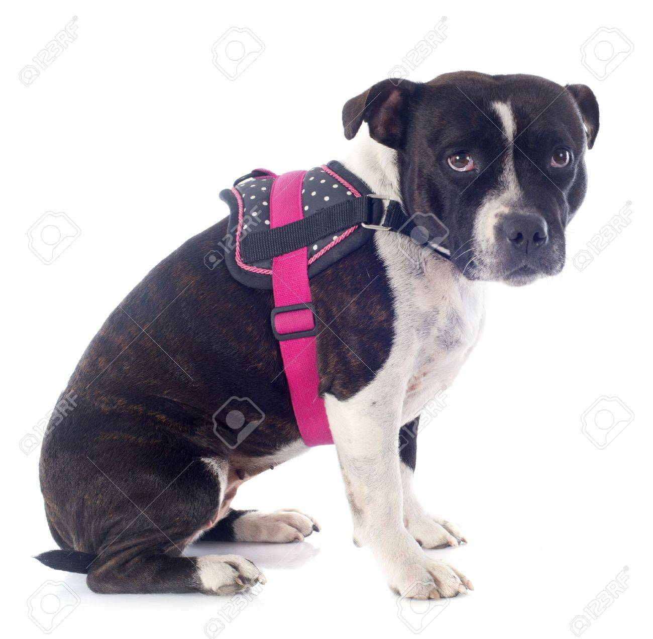 portrait of a sad staffordshire bull terrier in front of white background Stock Photo - 19140438