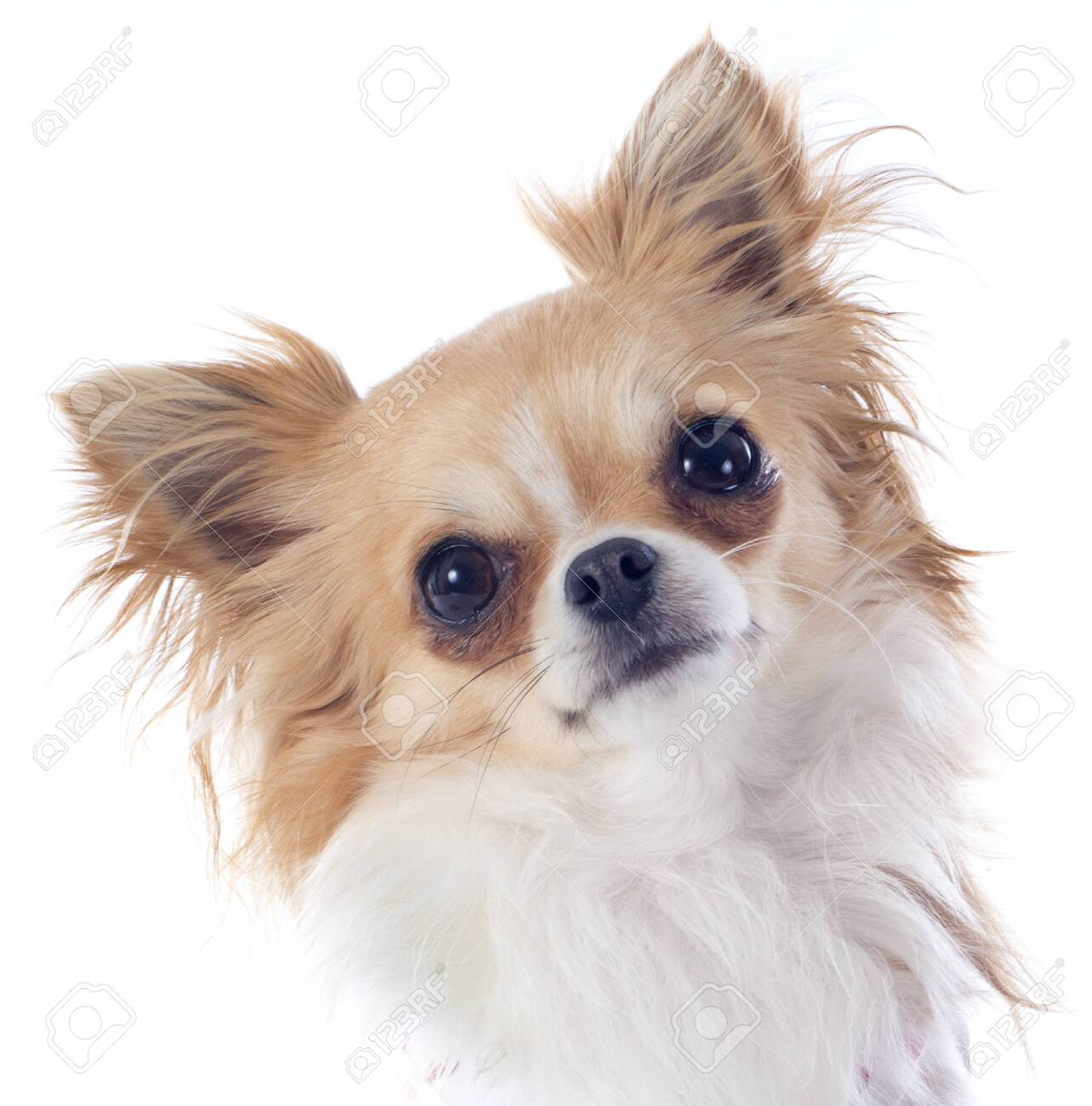 portrait of a cute purebred  puppy chihuahua in front of white background Stock Photo - 19140348