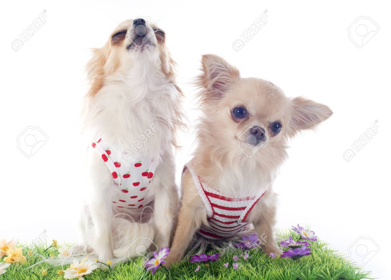 chihuahua in grass in front of white background Stock Photo - 19256093