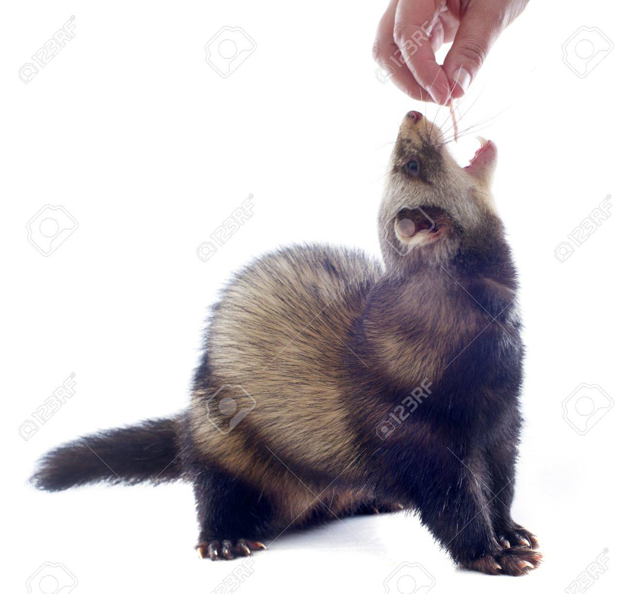 a male ferret feeding in a hand in front of white background Stock Photo - 19256097