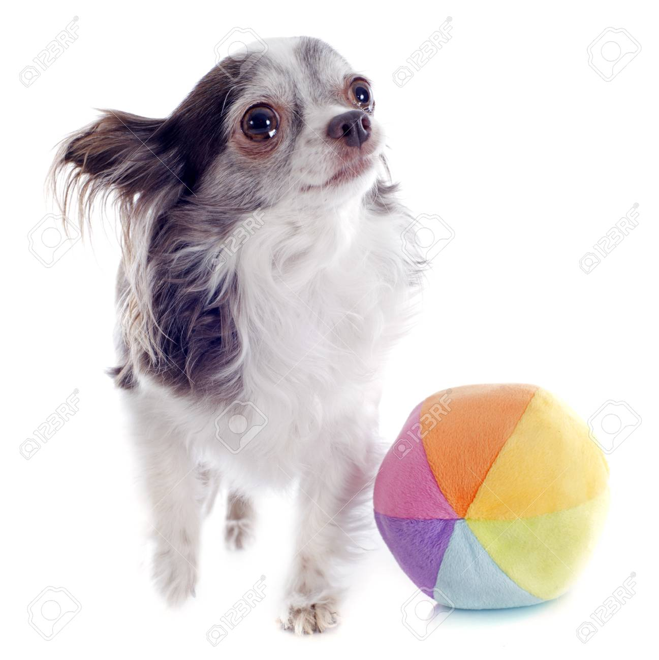portrait of a cute purebred  chihuahua and ball in front of white background Stock Photo - 19336669