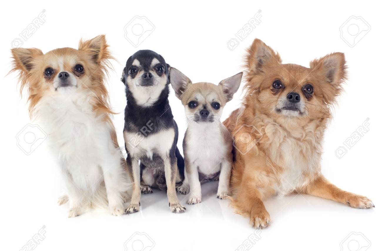 portrait of a cute purebred chihuahuas in front of white background Stock Photo - 19756201