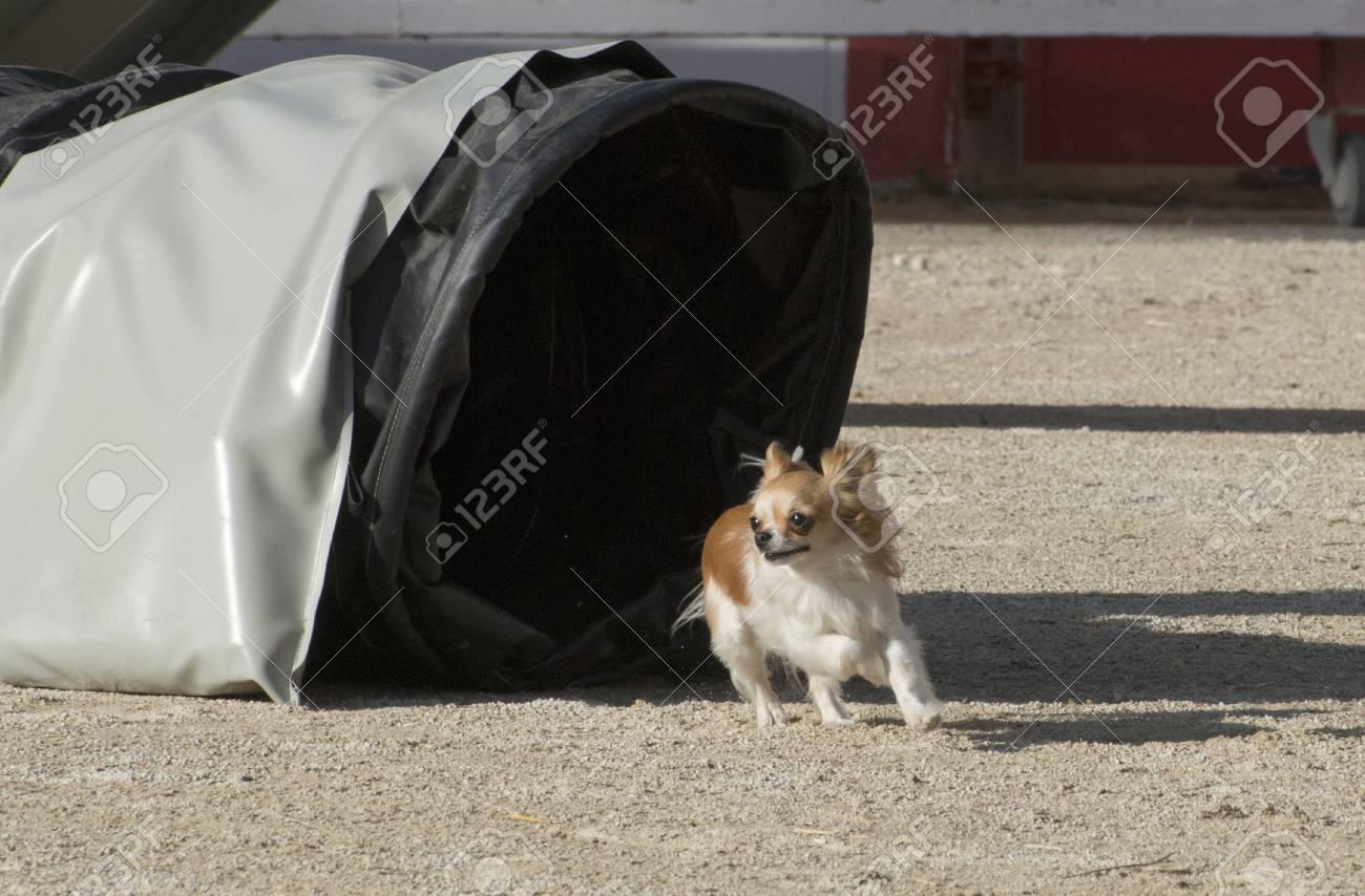 portrait of a cute purebred chihuahua in a competion of agility Stock Photo - 19756059