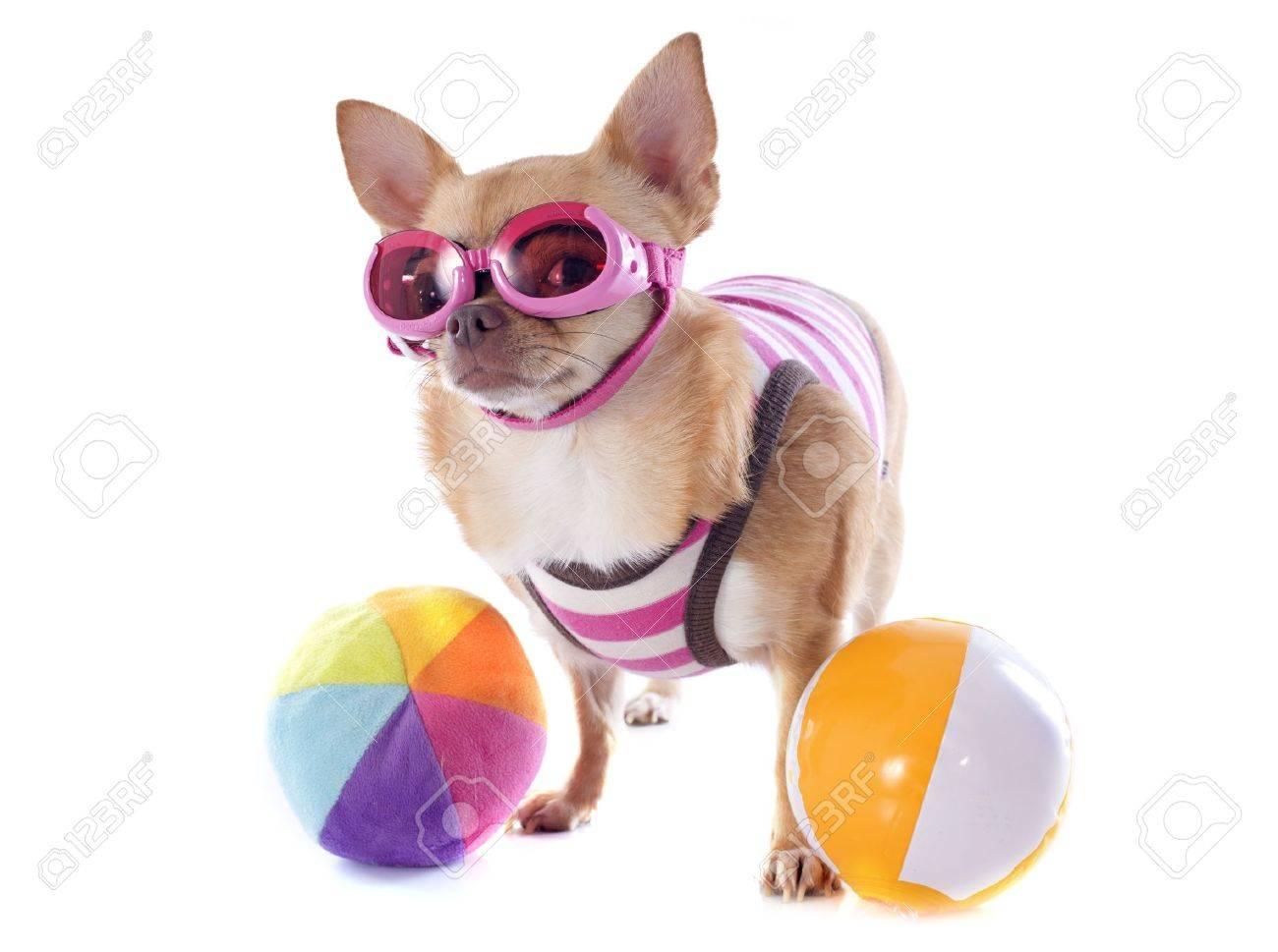 Y Raza Traje Fondo Un Con Chihuahua Lindo Sol Pura Baño En Frente Retrato De Blanco Gafas sQCxhordBt