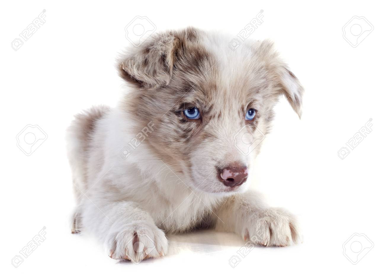 portrait of puppy border collie in front of white background Stock Photo - 20752129