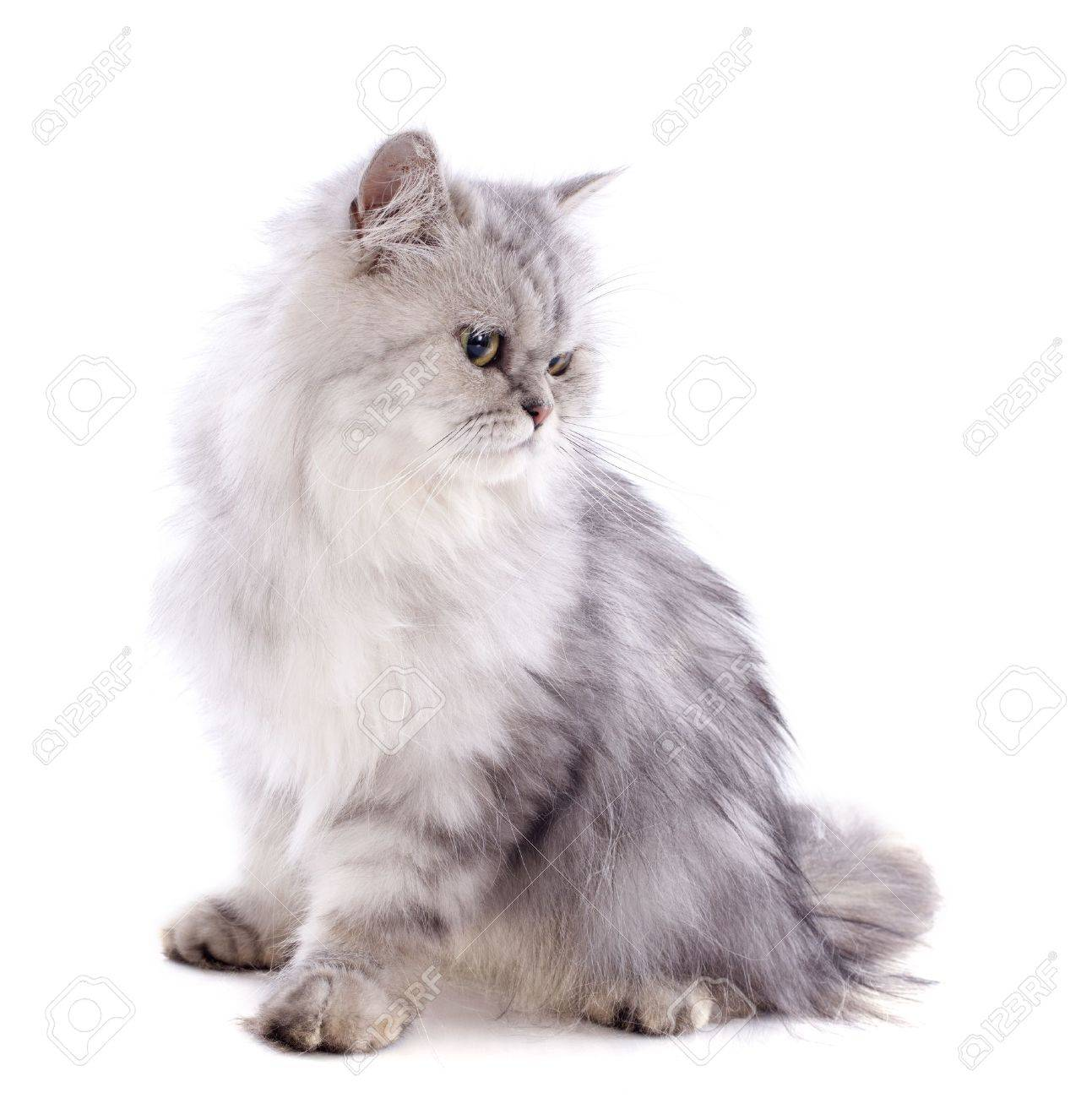 persian cat in front of a white background Stock Photo - 20752476