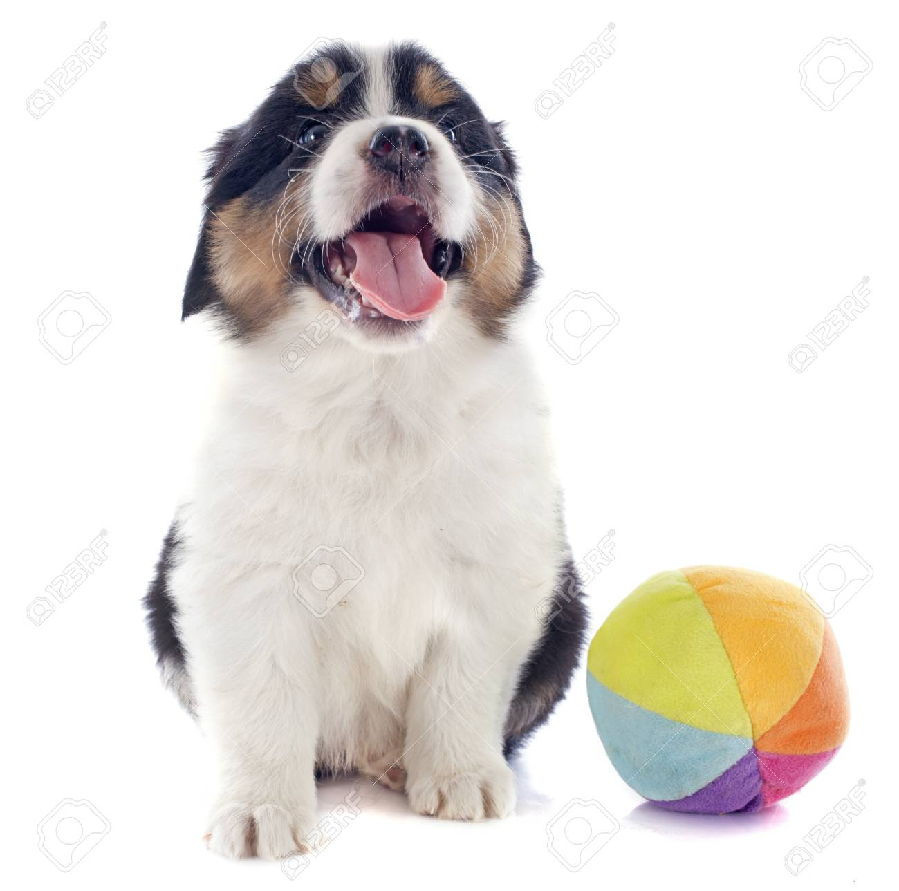 purebred puppy australian shepherd and ball in front of white background Stock Photo - 20752486