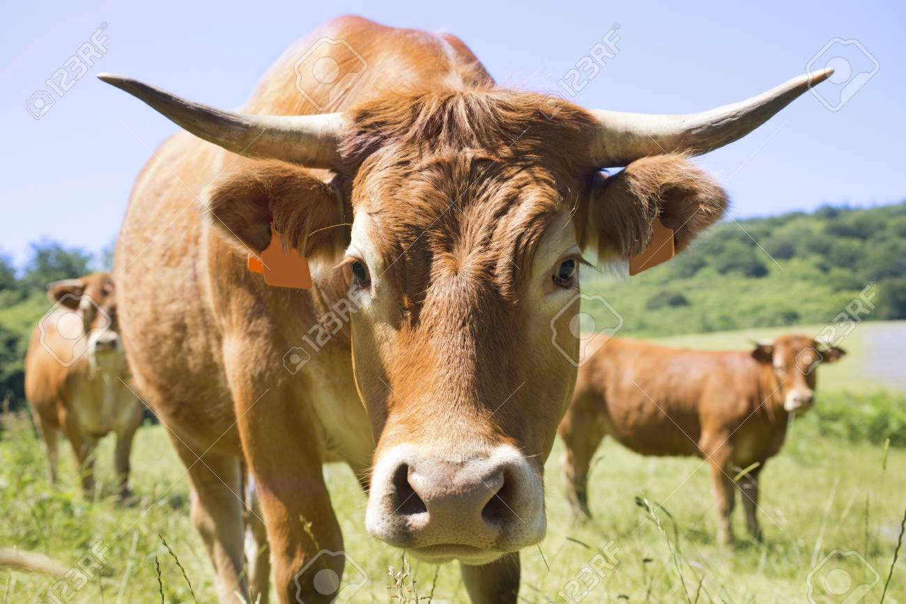 brown cow of Limousin in a field Stock Photo - 20923319