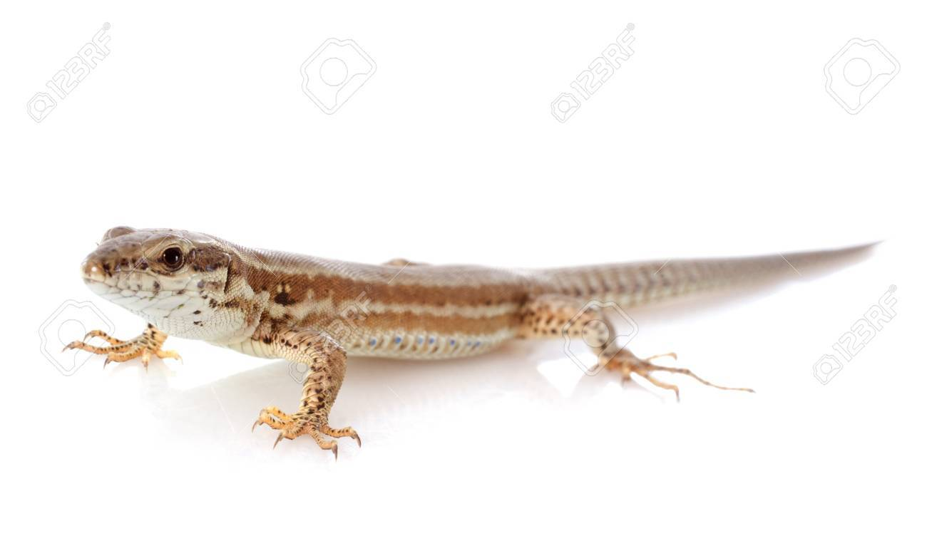 french lizard in front of white background Stock Photo - 21998358