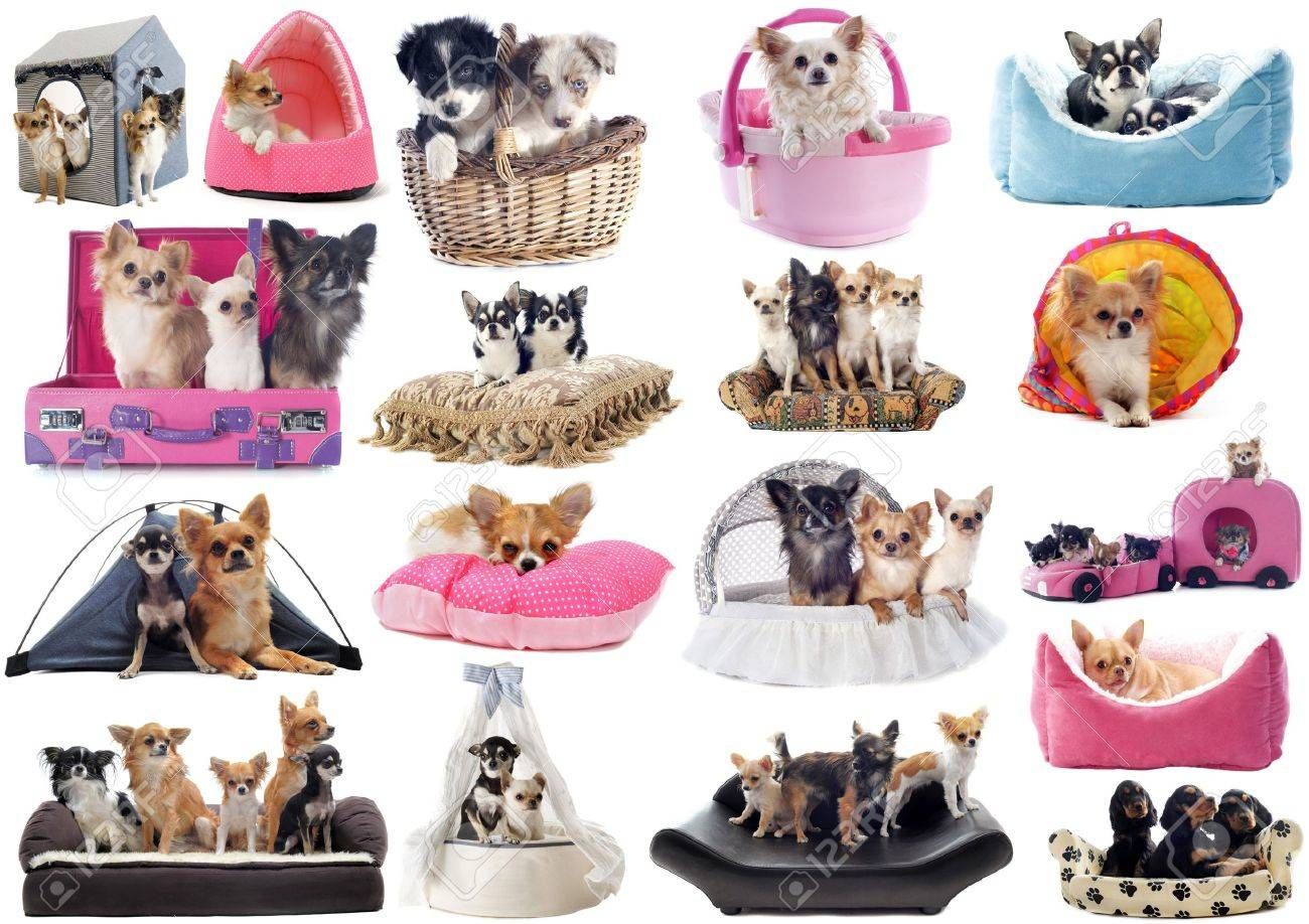 little dogs in dog bed in front of white background Stock Photo - 22087029