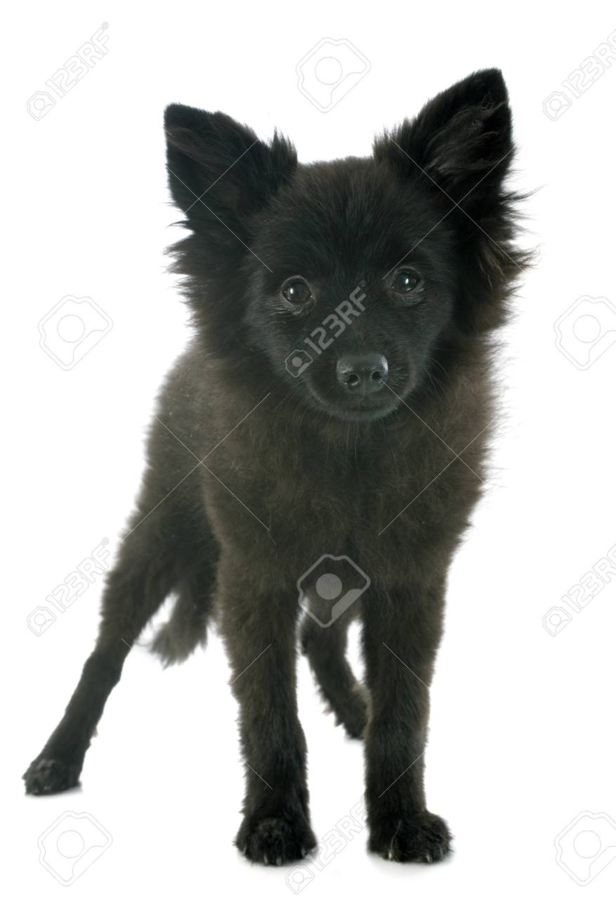 puppy spitz in front of white background Stock Photo - 22087030
