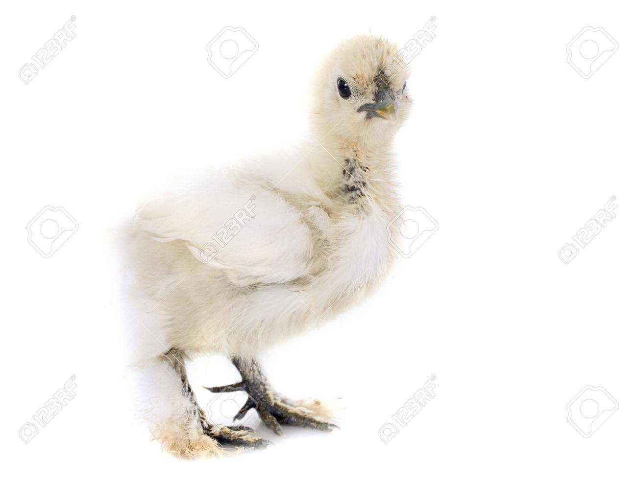 A small bantam silkie, one month, on a white background Stock Photo - 22087005