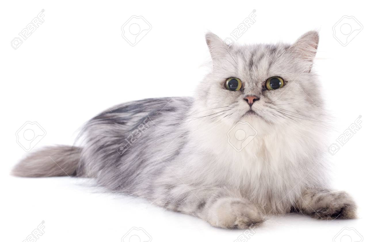 persian cat in front of a white background Stock Photo - 22128790