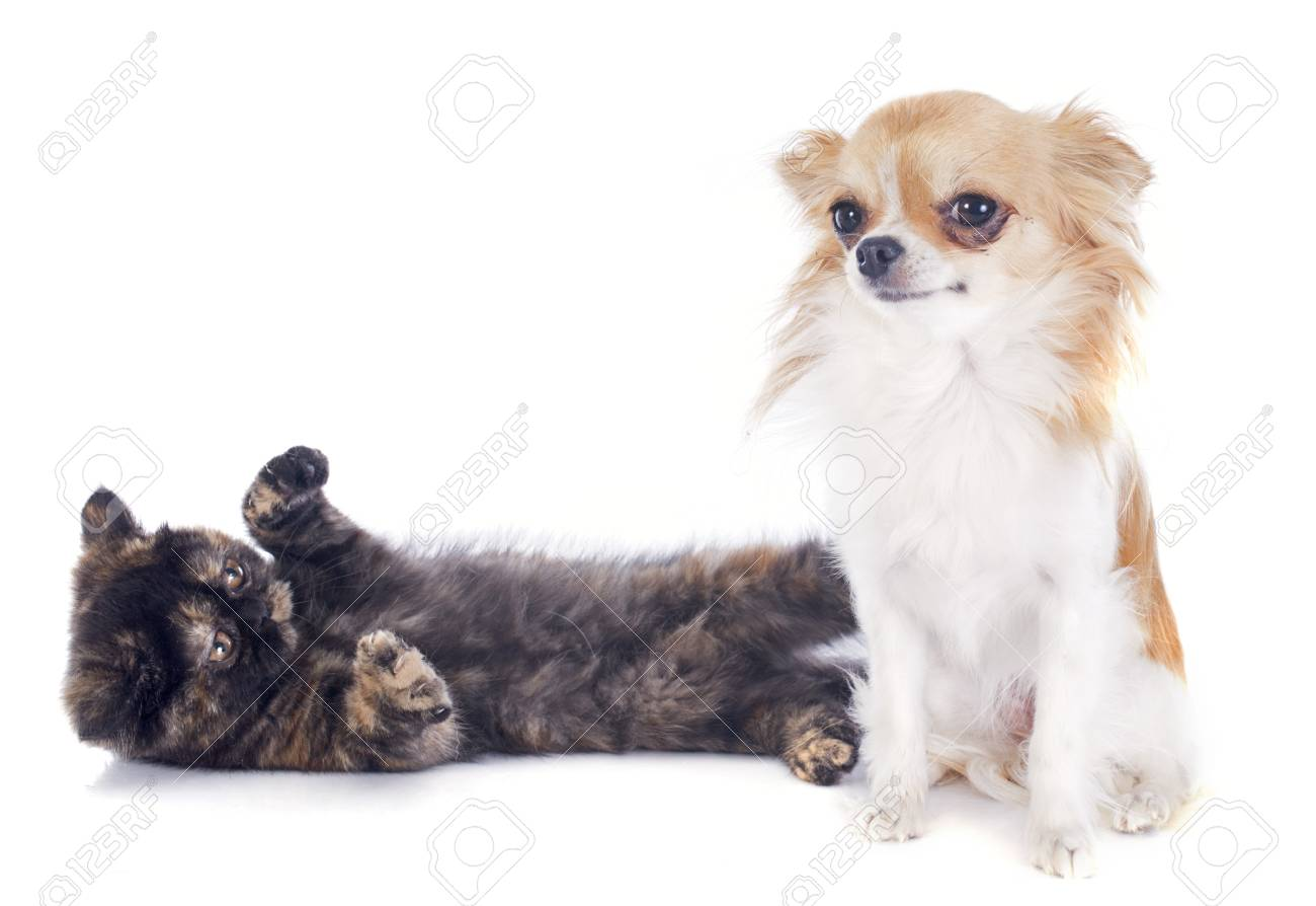Exotic Shorthair kitten and chihuahua in front of white background Stock Photo - 22128794
