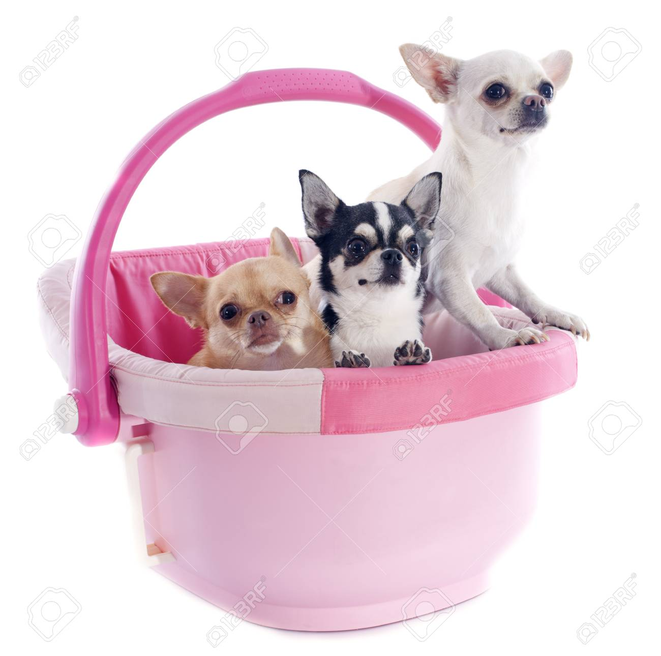 portrait of a cute purebred  chihuahuas in a pink cosy Stock Photo - 22577580