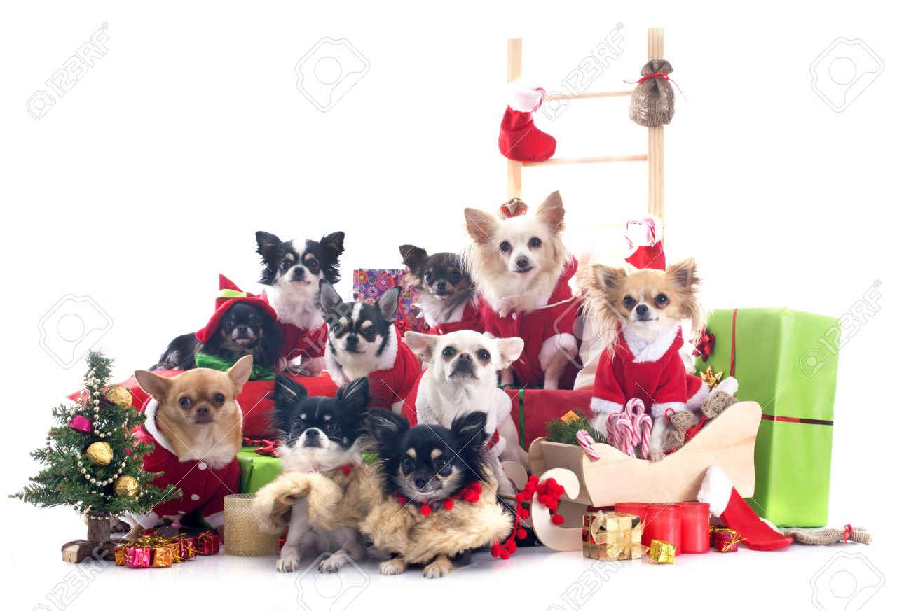 Christmas Chihuahuas In Front Of White Background Stock Photo ...