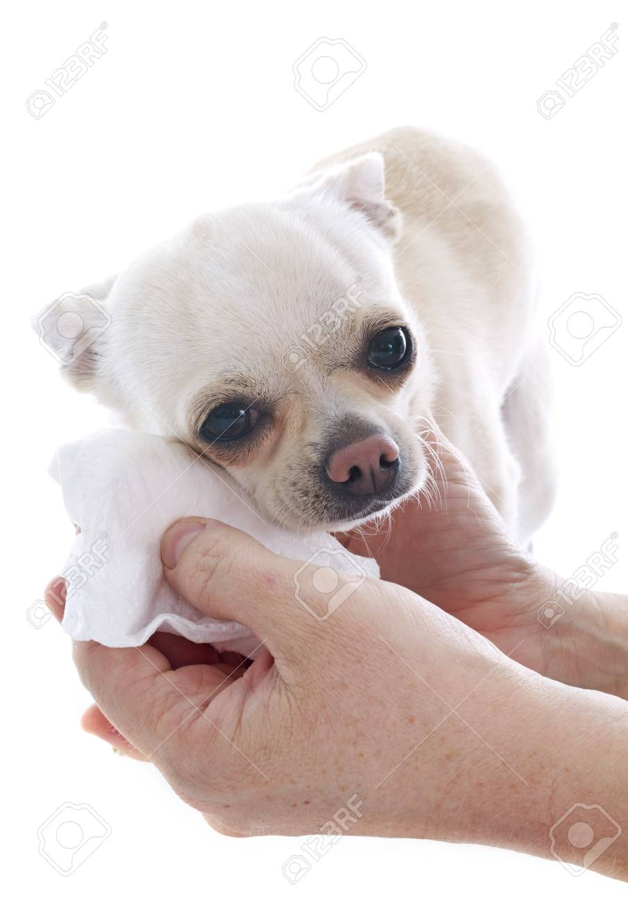 gromming on a chihuahua in front of white background Stock Photo - 23088171