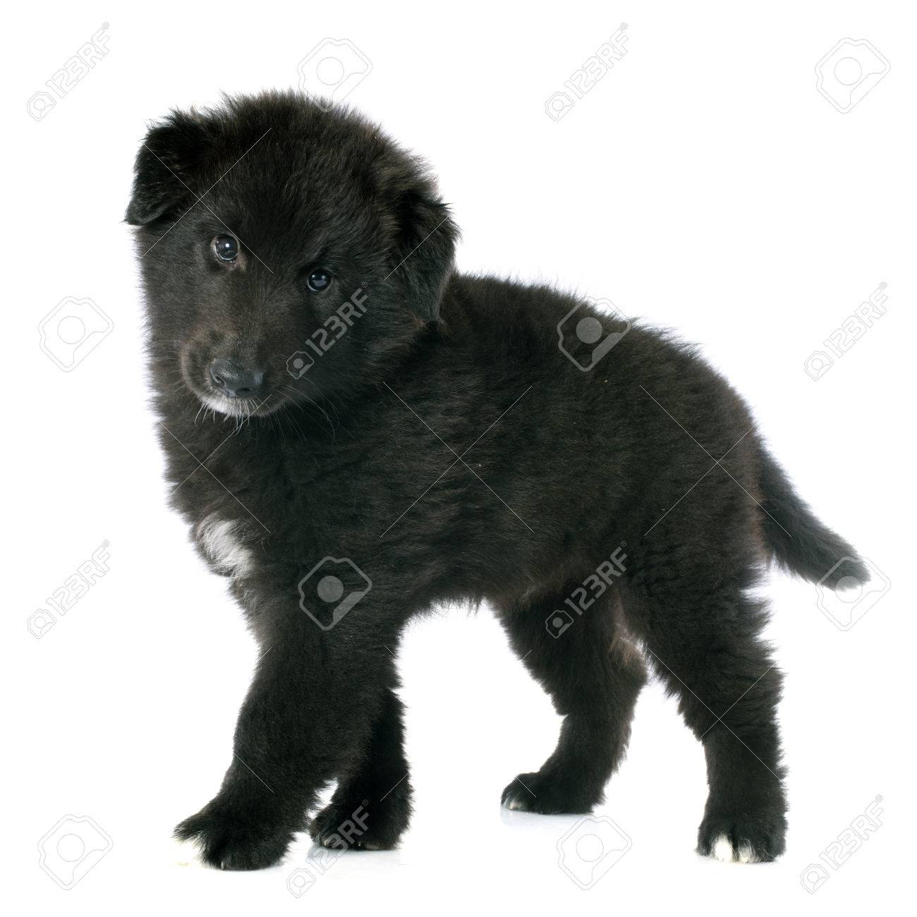 Picture Of A Puppy Belgian Sheepdog Groenendael Stock Photo Picture