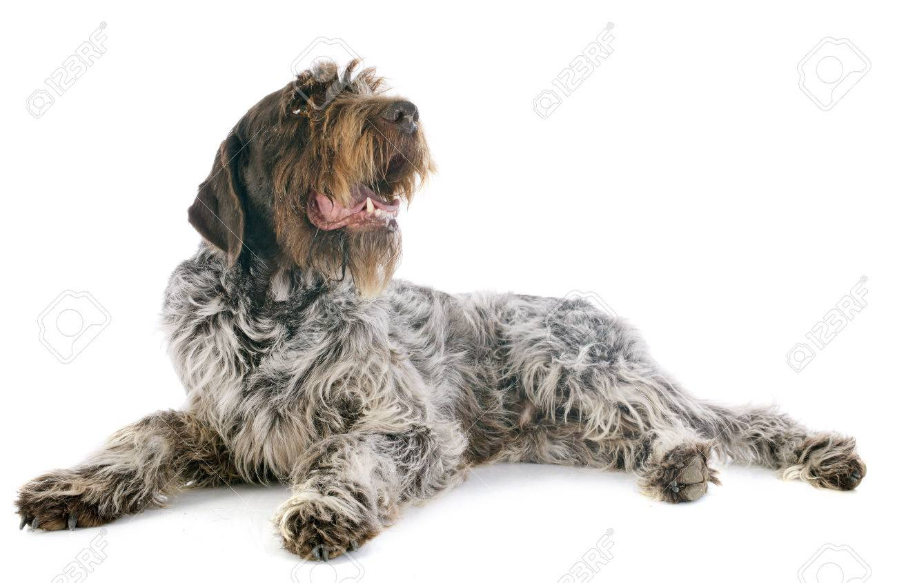 Wirehaired Pointing Griffon In Front Of White Background Stock Photo ...