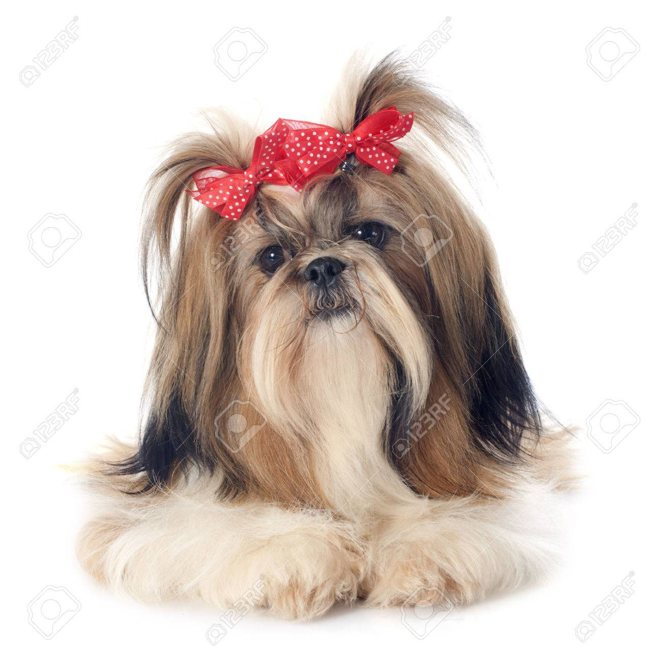 purebred Shih Tzu in front of white background Stock Photo - 26183862