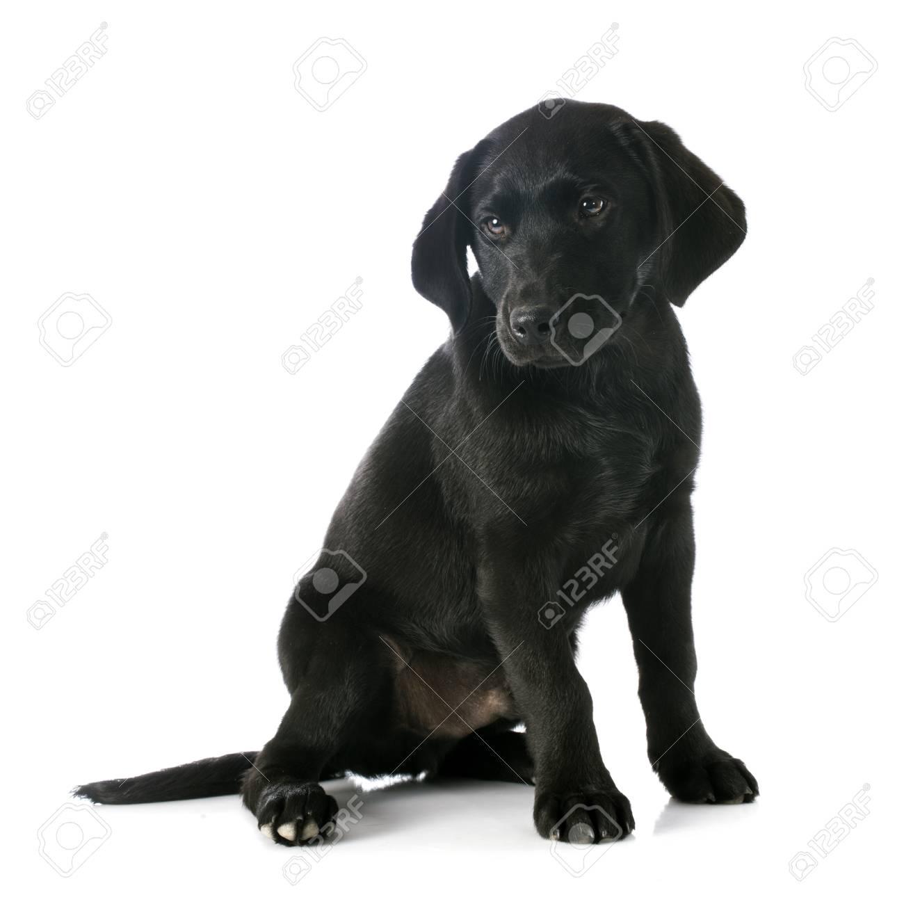 Puppy Purebred Labrador Retriever In Front Of White Background Stock