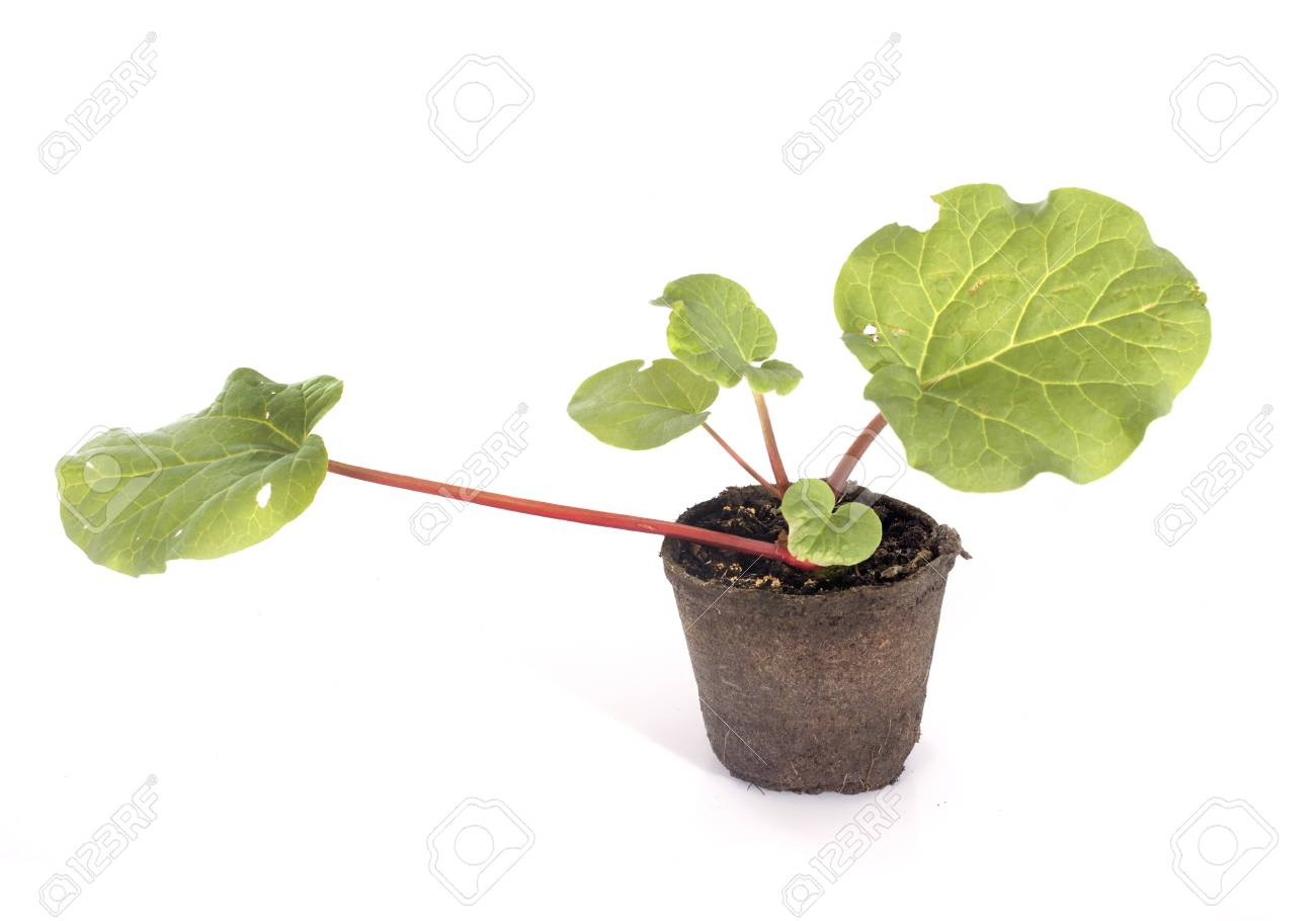 Rheum plant in front of white background Stock Photo - 29244184