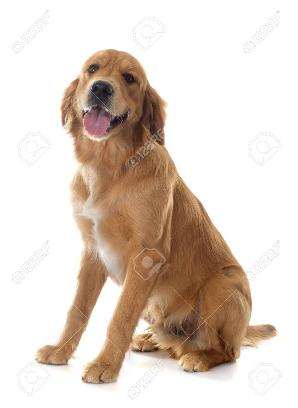 Young Golden Retriever In Front Of White Background Stock Photo