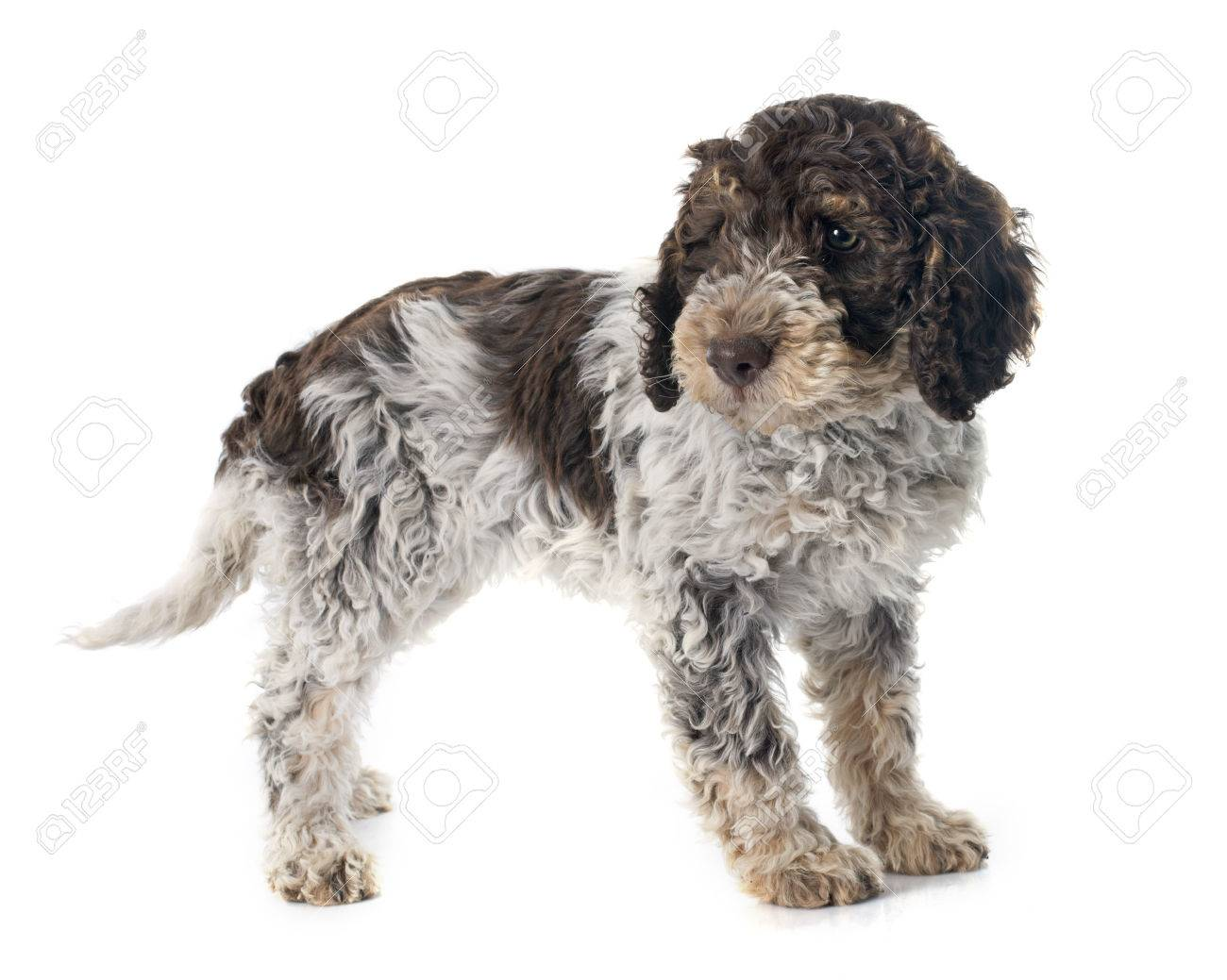 lagotto romagnolo in front of white background stock photo picture