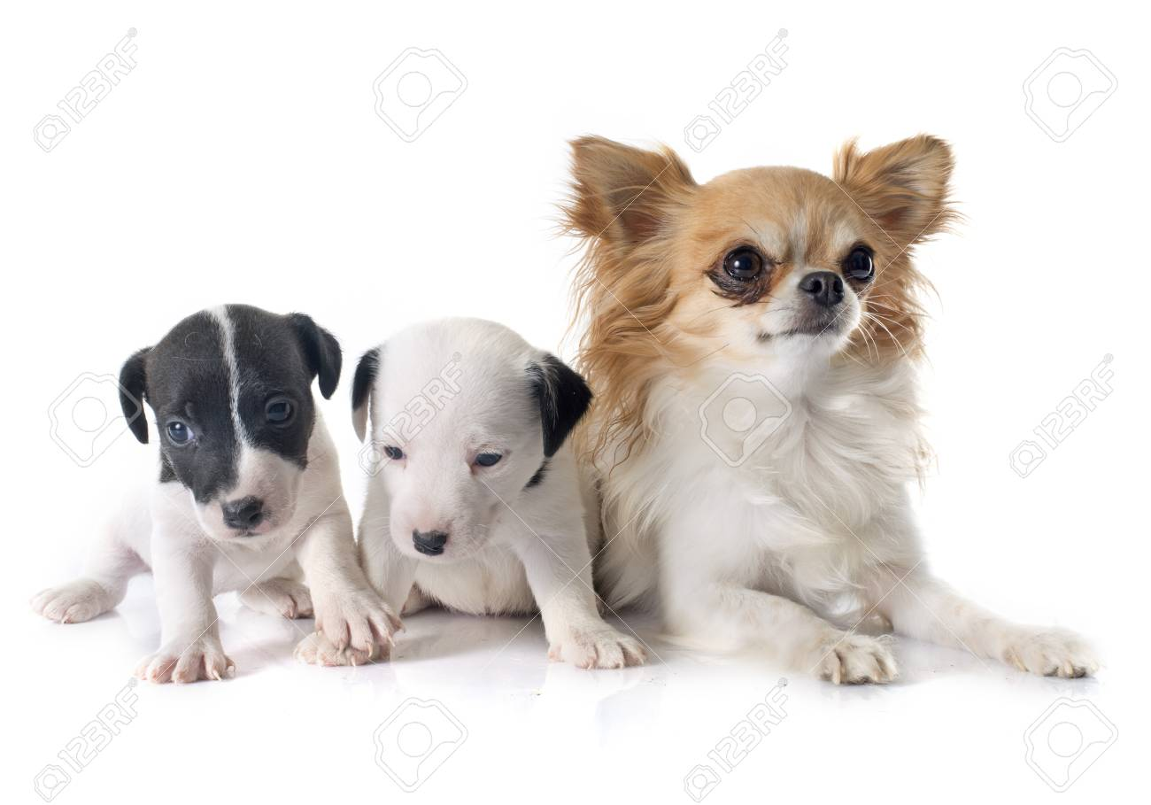 background chihuahua terrier jack white in front puppies russel of and qVpUzGSM