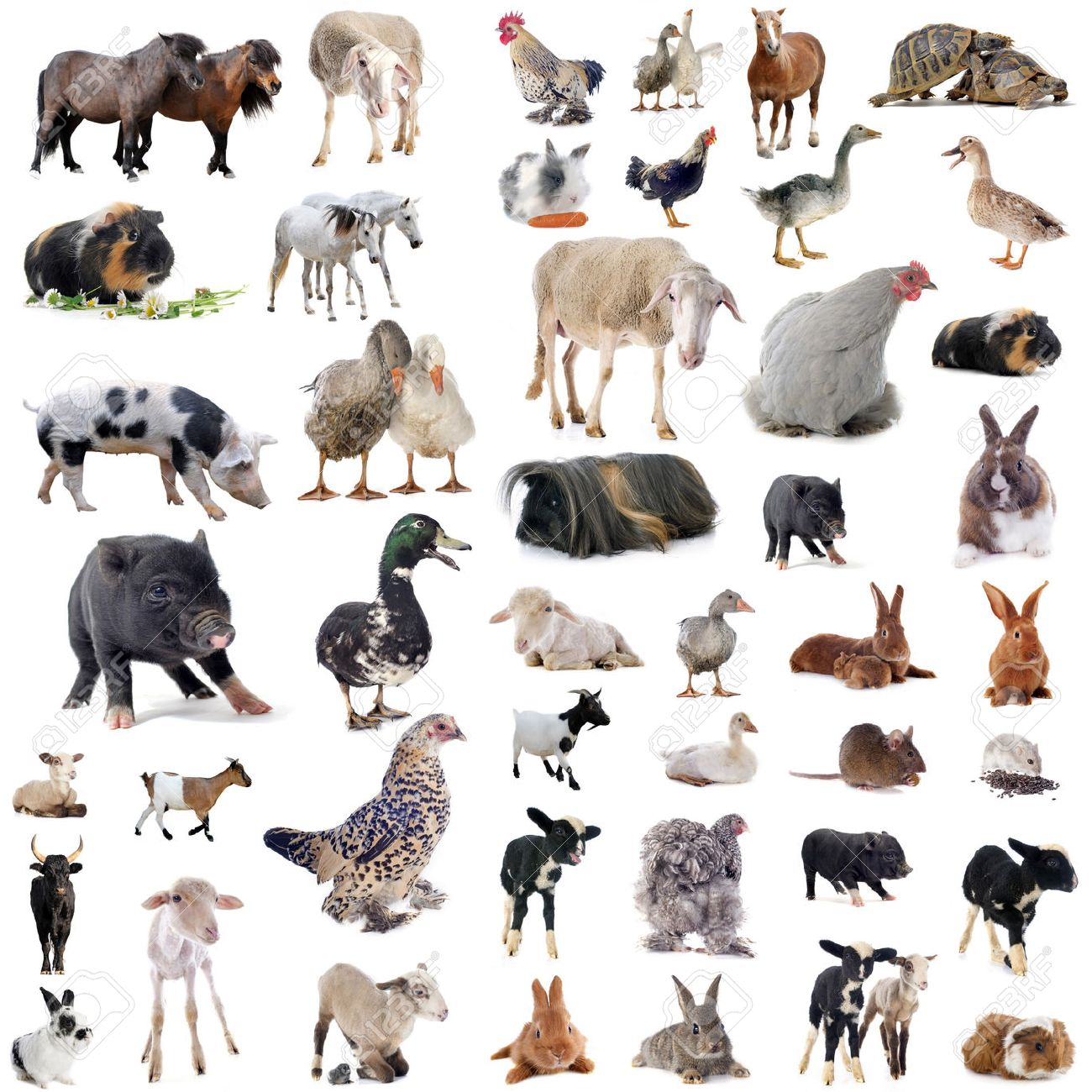 farm animals in front of white background Stock Photo - 47670591