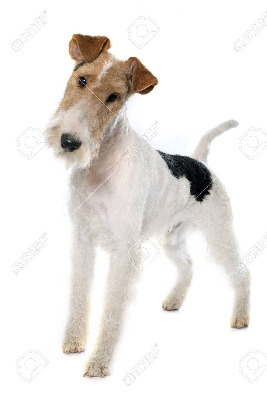 Purebred Fox Terrier In Front Of White Background Stock Photo ...