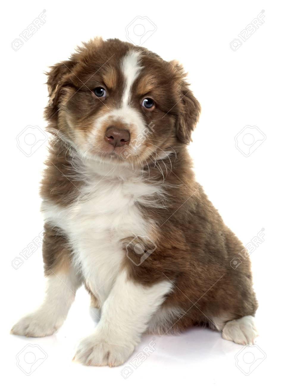 Puppy Australian Shepherd In Front Of White Background Stock Photo Picture And Royalty Free Image Image 50946066