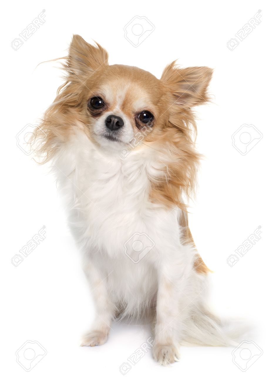 Long Hair Chihuahua In Front Of White Background Stock Photo