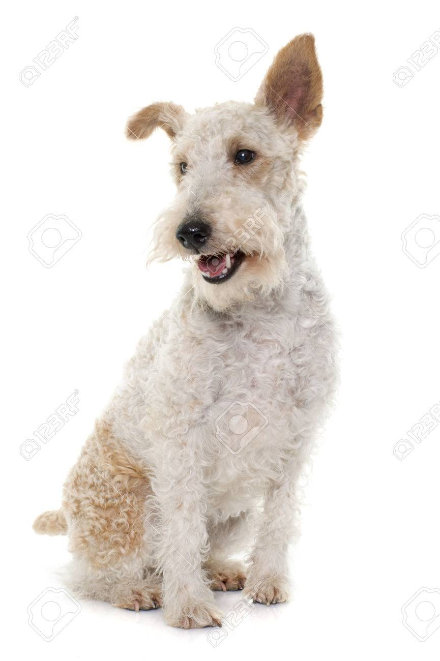 Definition of WIRE FOX TERRIER MerriamWebster - induced.info