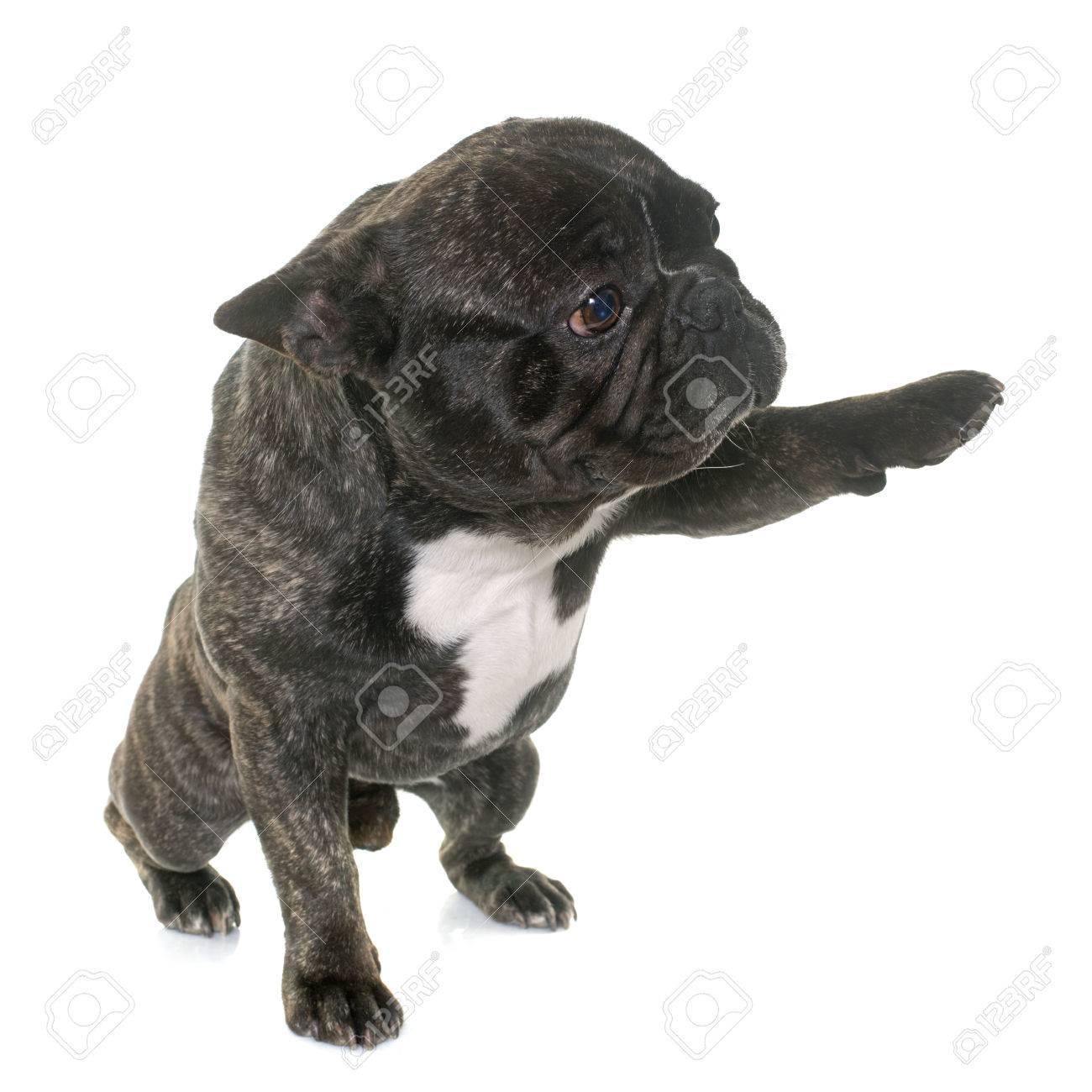 Marrón Bulldog Francés Que Da La Pata Delante De Fondo Blanco Fotos