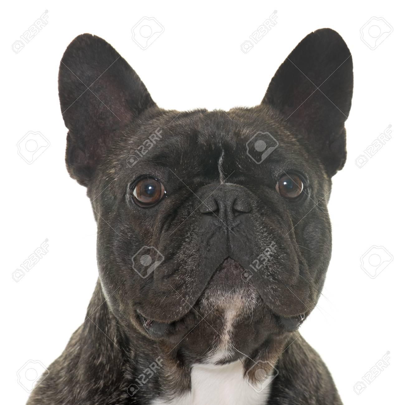 Bulldog Francés Marrón Delante De Fondo Blanco Fotos Retratos