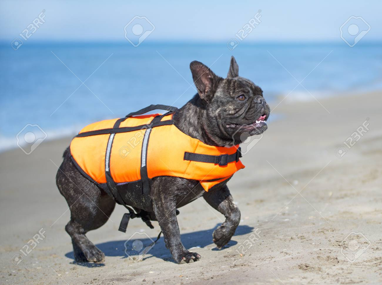french bulldog on the beach in france stock photo picture and